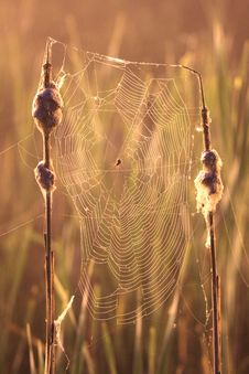Free Cobweb On The Swamp Royalty Free Stock Photo - 10072835