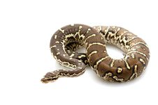 Free Angolan Python Stock Photography - 10072892