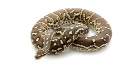 Free Angolan Python Stock Photography - 10072912