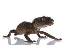 Free Prickly Rough Knob-tailed Gecko Stock Photos - 10073013