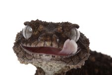 Free Prickly Rough Knob-tailed Gecko Stock Photography - 10073032