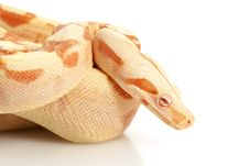 Free Sunglow Columbian Red-tailed Boa Stock Image - 10073071