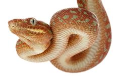 Free Emerald Tree Boa Stock Image - 10073251