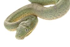 Free Emerald Tree Boa Stock Photos - 10073293
