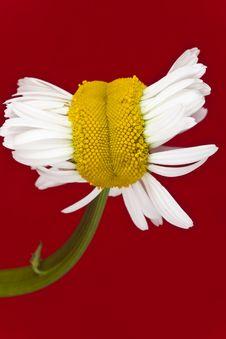 Free Chrysanthemum-mutant Royalty Free Stock Photography - 10073777
