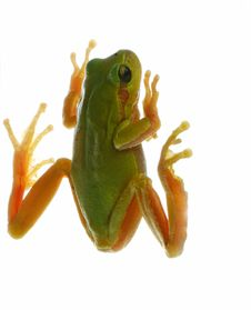 Free Frog Royalty Free Stock Images - 10074069