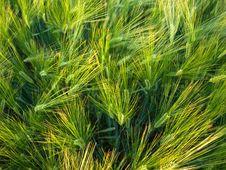 Free Green Wheat In Beams Of The Sun Stock Photos - 10074513