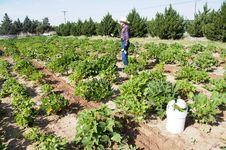 Farmer In Squash Garden Stock Photo