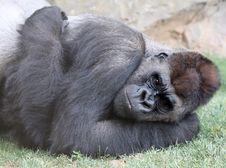 Free Gorilla Stock Photo - 10074960
