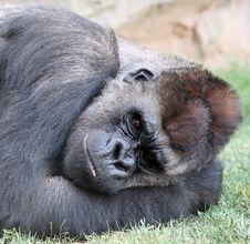 Free Gorilla Stock Images - 10074964