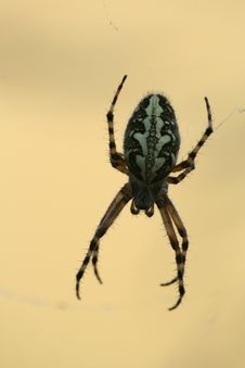 Free Oak Spider (Aculepeira Ceropegia) Royalty Free Stock Photos - 10075058
