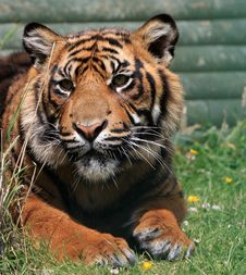 Free Tiger Animal Stock Photo - 10075220