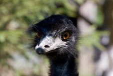 Free Ostrich Face Stock Photo - 10075230