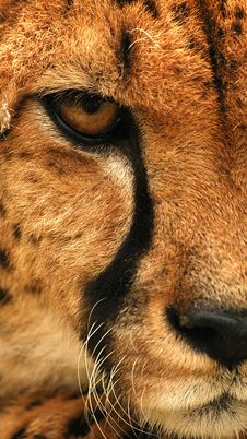 Free Tiger 2 Stock Image - 10075481