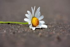 Free Camomile On Road Royalty Free Stock Photo - 10075855