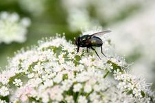 Free Fly On Flowers Stock Photo - 10075860