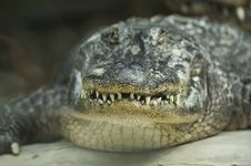 Free Alligator Stock Photos - 10075863