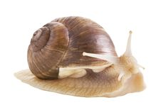 Free Edible Snail Royalty Free Stock Photography - 10075867