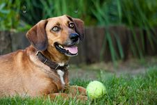 Free Brown Dachshund Stock Photos - 10076053