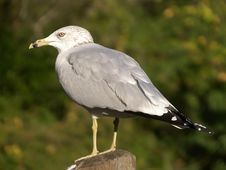 Free Seagull Posing Stock Photography - 10076292