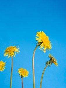Free Dandelions Stock Image - 10076861
