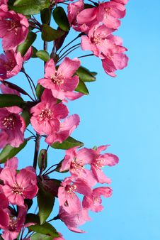 Free Crab Apple Flowers On Blue Sky Royalty Free Stock Photos - 10076868