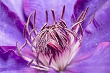 Clematis Flower Close Up Stock Photo