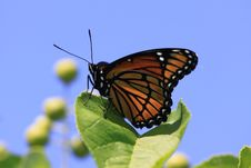 Free Viceroy Butterfly Royalty Free Stock Photography - 10077407