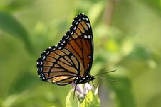 Free Viceroy Butterfly Stock Photography - 10077422