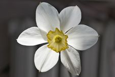 Free White Narcissus Close Up Royalty Free Stock Photos - 10078438