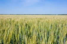 Free Field Of Rye Stock Image - 10079671