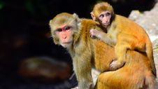 Free Macaque, Mammal, Primate, Fauna Royalty Free Stock Image - 100701766