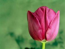 Free Flower, Tulip, Bud, Plant Royalty Free Stock Image - 100701786