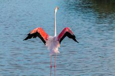 Free Bird, Flamingo, Water Bird, Water Stock Images - 100708704