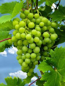 Free Grape, Grapevine Family, Fruit, Seedless Fruit Stock Images - 100709424