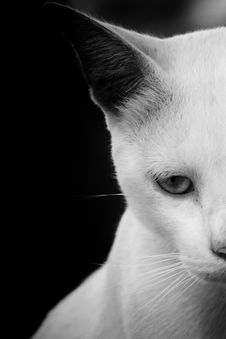 Free Cat, Face, White, Black Stock Photo - 100718520