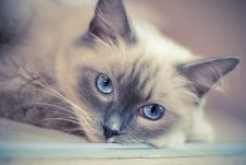 Free Cat, Face, Whiskers, Skin Royalty Free Stock Photo - 100724265