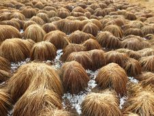 Free Straw, Grass, Grass Family, Hay Royalty Free Stock Images - 100725009
