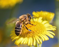 Free Honey Bee, Bee, Insect, Nectar Royalty Free Stock Photos - 100725918