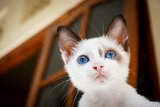 Free Cat, Face, Whiskers, Small To Medium Sized Cats Royalty Free Stock Images - 100731319