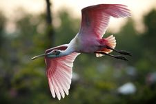 Free Roseate Spoonbill Stock Image - 100758881