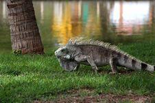 Free Fauna, Iguana, Reptile, Scaled Reptile Stock Photo - 100770270
