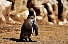 Free Fauna, Bird, Penguin, Flightless Bird Stock Photography - 100770292