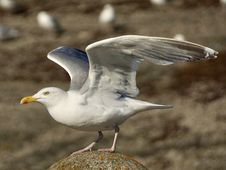 Free Bird, Gull, European Herring Gull, Seabird Royalty Free Stock Photography - 100772807