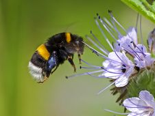 Free Bumblebee, Insect, Bee, Honey Bee Royalty Free Stock Images - 100772819