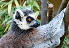 Free Fauna, Lemur, Primate, Terrestrial Animal Royalty Free Stock Images - 100774539