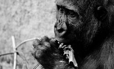 Free Black And White, Mammal, Great Ape, Primate Royalty Free Stock Photography - 100774847