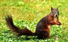 Free Squirrel, Fauna, Mammal, Fox Squirrel Royalty Free Stock Photos - 100775238