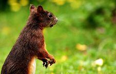 Free Squirrel, Fauna, Mammal, Fox Squirrel Royalty Free Stock Photos - 100775248