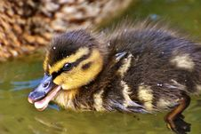 Free Bird, Duck, Ducks Geese And Swans, Fauna Royalty Free Stock Photography - 100775587